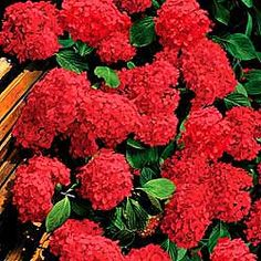 Hydrangea macrophylla 'Hornli' I just saw my first red hydrangea and wondered how that happens--timely!