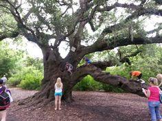 Old live oak @ Audubon zoo