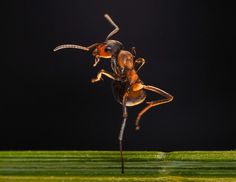 Macro-photographer Irina Kozorog managed to capture the moment an ant performed a ballet pose. Taken inside her homemade studio in Moscow, R...