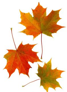 Maple, Sycamore, yellow-poplar, and sweetgum trees are known for their lobed leaves, which turn bright colors in the fall. Fall Leaves Drawing, Maple Leaf Drawing, How To Identify Trees, Sycamore Leaf, Autumn Leaves, Maple Leaves, Autumn Painting, Tree Leaves, Fall Flowers