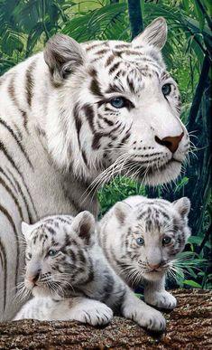 deux bb tigres blancs et leur mère, magnifiques