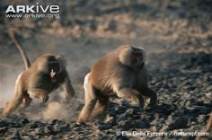 Male hamadryas baboon chasing off another male during a fight