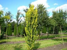 Ulmus hollandica 'Wredei'  Zuilvormige goudiep