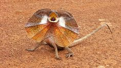 A frilled neck lizard attacks a man in Outback Australia. The frilled-neck lizard (Chlamydosaurus kingii), also known as the frilled lizard, frilled d Reptiles, Lizards, Chameleons, Snakes, Fennec Fox, Visit Australia, Australian Animals, Animal Species, All Gods Creatures