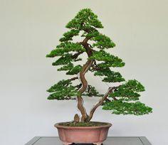 Great design, by Naoki Maeoka #bonsai