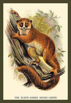 the black eared mouse lemur