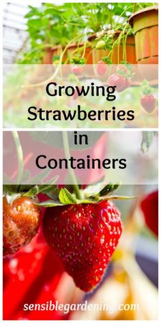 Growing Strawberries in Containers with Sensible Gardening
