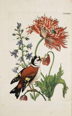 Vintage illustration flowers and bird, by maria sibylla merian Nature Illustration, Botanical Illustration, Botanical Drawings, Botanical Prints, Vintage Prints, Sibylla Merian, Nature Artists, Fauna, Bird Prints