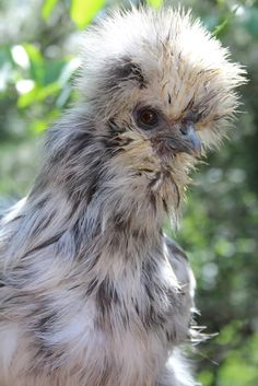 Splash Silkie Hen from   A Chicken A Day