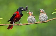 Maroon orioles  (Photo by d.h  A face only a mother could love.