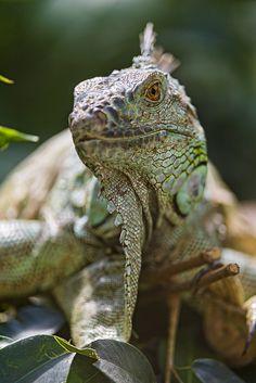 Relaxed iguana   Flickr - Photo Sharing!