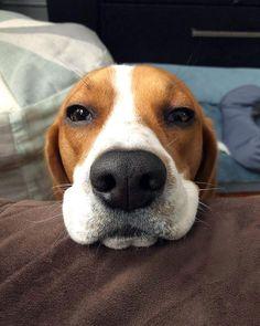 Baby face Bentley #cutepets #gymaddict #1yearold #Bentley #fitnessmotivation #sweetdog #controlyourself #beaglemama #dontgiveup #instadogs #newjersey #russianinusa #cutedog #doglover #beagle #BeaglesOfInstagram #cutebaby #sweetnose #shotoniphone #winter #boss #likeaboss #iphone8plus