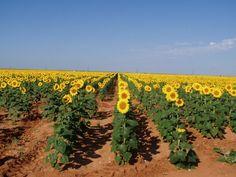 West Texas Sunflowers