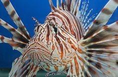 The Lionfish on exhibit at the National Aquarium were removed from the Florida Keys, where they are invasive and threatening the native animals.