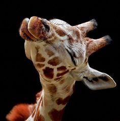 Kiss-a-maniac Giraffe, dreaming of hitting it big time, with a BIG Kiss! lol...