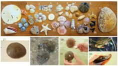 Sea Shelling and other beach treasures on your Florida Vacation Florida Vacation, Sea Shells, Favorite Things, Coast, Beach, Florida Holiday, The Beach, Seashells, Beaches