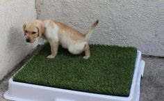 Puppy potty training can be a difficult and frustrating experience. The process will require patience and consistent discipline to properly train your puppy. Puppies should begin potty training as soon as they are brought home. Puppy Toilet Training, Puppy Potty Training Tips, Training Your Puppy, Leash Training, Training Dogs, Puppy House, Dog Potty, Aggressive Dog, Dog Behavior