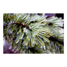 =>>Save on          Ice Coated Pine Posters           Ice Coated Pine Posters online after you search a lot for where to buyDiscount Deals          Ice Coated Pine Posters lowest price Fast Shipping and save your money Now!!...Cleck Hot Deals >>> http://www.zazzle.com/ice_coated_pine_posters-228240575764831879?rf=238627982471231924&zbar=1&tc=terrest