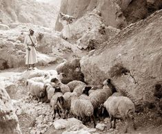 This picture was taken in Jerusalem in the early 1900's and it shows shepherds tending a flock of sheep.