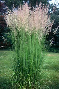 "'Karl Foerster' - Feather Reed Grass(Calamagrostis x acutiflora ) 4-5' x 24"" wide. *2001 Perennial Plant of the Year.* Drought tolerant and tolerating a wide range of garden soils. It has a wonderful upright growth habit, making it very useful to place behind perennials with a spreading or rounded shape. The feathery plumes emerge in early summer and ripen to handsome wheat-colored seed heads by fall. Combine w/ Russian Sage. In groups of three or five for best effect. Zones 5-9."