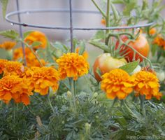 Why you should grow marigolds with tomatoes +8 other companion planting tomato combinations - Home Gardenist