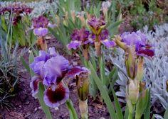 Iris SDB 'Island'  - Blog w zasadzie ogrodowy