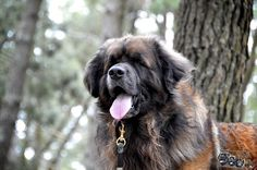 #leonberger  Ch Delboy Leokings Premeire Attraction  jun Ch, An Ch 13. CW 14                               International Champion                                 Top Winning male 2012                          Top Winning Leonberger 2013                                                &                                  Annual Champion 2013       Celtic Champion 2014    second in open At Crufts  2015 4th Place in champion class at  leonberg 2015