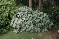 """Plectranthus argentatus """"Longwood Silver"""" part shade; hardy to zone perennial in microclimate in ATL if well mulched. Rock Garden Design, Rock Garden Plants, Balcony Plants, Indoor Plants, Long Flowers, Summer Flowers, Little Gardens, Small Gardens, Shade Tolerant Plants"""