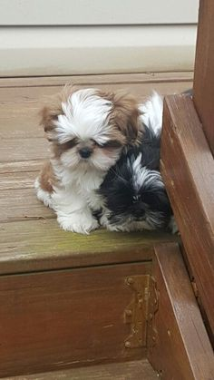 Shih Tzus too scared to take the first step...Awww!
