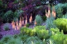 Striking colors and textures in the garden: eremurus, euphorbia, smoke bush, amsonia . Plant Design, Garden Design, Beautiful Gardens, Beautiful Flowers, Smoke Tree, Drought Tolerant Landscape, Colorful Garden, Gras, Garden Styles