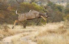 So big yet so graceful .... just love Kudu!