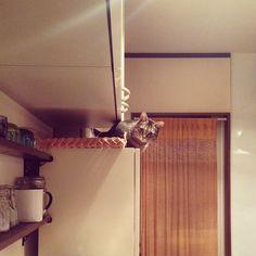 「ウズラが降りれなくて困っています。 どーやって上がったのさ。 #猫#cat#キジトラ#ウズラ」