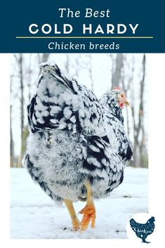 If you live in a cold climate and are considering raising chickens, you're going to need cold hardy chicken breeds to ensure the success of your flock. Best Egg Laying Chickens, Raising Backyard Chickens, Backyard Poultry, Backyard Chicken Coops, Keeping Chickens, Laying Hens, Baby Chickens, Breeds Of Chickens, Backyard Coop