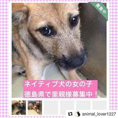 大きな瞳の可愛い女の子です。 。 #徳島県 #徳島市 から 里親様募集です!!!!!! 。 #Repost @animal_lover1227 with @repostapp ・・・ 📢緊急 #拡散希望 ‼️ #徳島県 で #雑種 #ネイティブ犬 #犬 #里親募集中 です。この子は命の期限がついています。  保健所から出さないとこの子は殺されてしまいます… 拡散していただけると繋がる命があります‼️ 拡散方法はTwitterやFacebookなどでも構いません!どうかよろしくお願いいたします🙏🏻 ・ ・#里親募集_徳島 ・ この子の家族になりたい! 質問したい! という方は 私のプロフィール欄【@animal_lover1227 】にリンクを貼っています。 詳細条件にあるキーワードに 123461  と入力するとこの子のページが開きます。「里親を申し出る・質問する」  の赤いボタンがありますのでそちらをクリックしてください。 ・ ・  ペット基本情報 施設名#徳島県動物愛護管理センター 施設住所徳島県 徳島市一宮町東丁355-5 種類雑種 年齢子犬 (推定4ヵ月)…