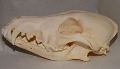 """If you can't afford a wolf skull buy a Coyote skull!  You will have the same look at a fraction of the cost.  Our Coyote skulls are very high quality and range in size.  The average skull is 8"""" long 4"""" wide and 3"""" tall.  A beautiful addition to anyone's home, no matter what your aesthetic happens to be.  The skull you receive will be similar to the one shown."""