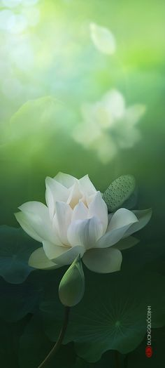 Lotus by Duong Quoc Dinh Lotus Flower, My Flower, Flower Art, Flower Power, Water Flowers, Love Flowers, Beautiful Flowers, White Lotus, Deco Floral