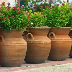 "{I bought some small 16"" olive jar terra cotta's similar to these at a Fry's store. They age so nicely, as terra cotta does... Miniature roses seem to enjoy the Arizona heat, so if I replant these...}"