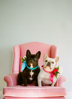 Pink Chair and French Bulldogs - Adorable!!
