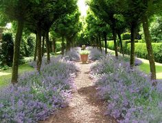 Blue nepeta known as Catmint lines the path under an avenue of young trees at Cothay Manor, Somerset, South West England. The gardens were laid out in the 1920s by Col. Reginald Cooper who was great friends with all the gardening grandees of that era; Vita Sackville-West, Lawrence Johnston, Harold Nicholson and Gertrude Jeykll. Interestingly the gardens were laid out in 1925, ten years earlier than those of Sissinghurst.