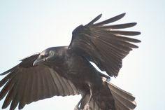 crows - Google zoeken