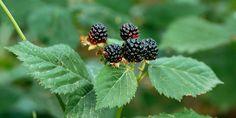 Συμβουλές για να καλλιεργήσουμε βατόμουρα σε κήπο και σε γλάστρα, το αγαπήμενο superfood που μπορούμε να απολαύσουμε φρέσκο, σε χυμό και σε μαρμελάδα. Garden Works, Superfoods, Blackberry, Fruit, Super Foods, Blackberries, Rich Brunette