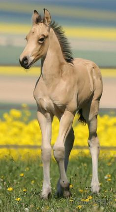 Spring foal, beautiful almost Dunn colored horse in a field of yellow flowers. Adorable little horse with long wobbly looking knees!
