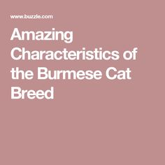 Amazing Characteristics of the Burmese Cat Breed