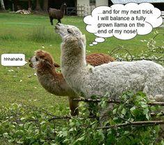 Funny Llamas :)