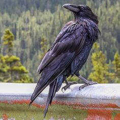 Raven Bird, Crow Bird, Corvo Tattoo, Raven Pictures, Rabe Tattoo, Crow Images, Jackdaw, Crows Ravens, Photo Reference