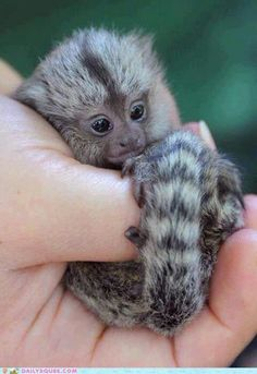 Smallest primates in the whole world