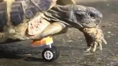 I Believe That I Have Now Seen Everything.  The Tortoise With a Wheel Animal Video of the Day!!!  ... from PetsLady.com ... The FUN site for Animal Lovers