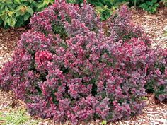 "Concorde Barberry  Berberis thunbergii 'Concorde'    Height: 60cm (24"")    Spread: 50cm (20"")    Dwarf, globe-shaped shrub with new red foliage maturing to velvety purple. Sparse red ornamental fruit in fall. Tolerates dry conditions. Used for borders and contrast. Prefers moist, well-drained soil"