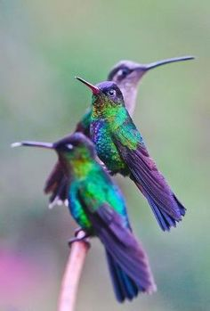 Colorful Birds -Hummingbirds are so tiny and beautiful. Pretty Birds, Love Birds, Beautiful Birds, Animals Beautiful, Cute Animals, Three Birds, Animals Amazing, Pretty Animals, Funny Animals