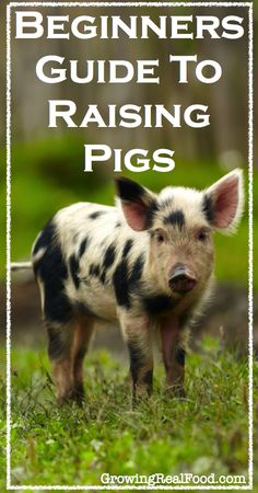 Beginners Guide To Raising Pigs. Excellent site for info on raising pigs. Pig Farming, Backyard Farming, Raising Farm Animals, Pigs Raising, Gato Animal, Homestead Farm, Homestead Living, Homestead Survival, Pig Pen